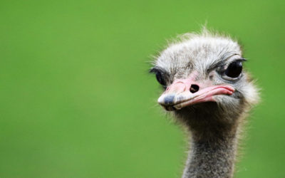 An Ostrich Love Affair: Part 2